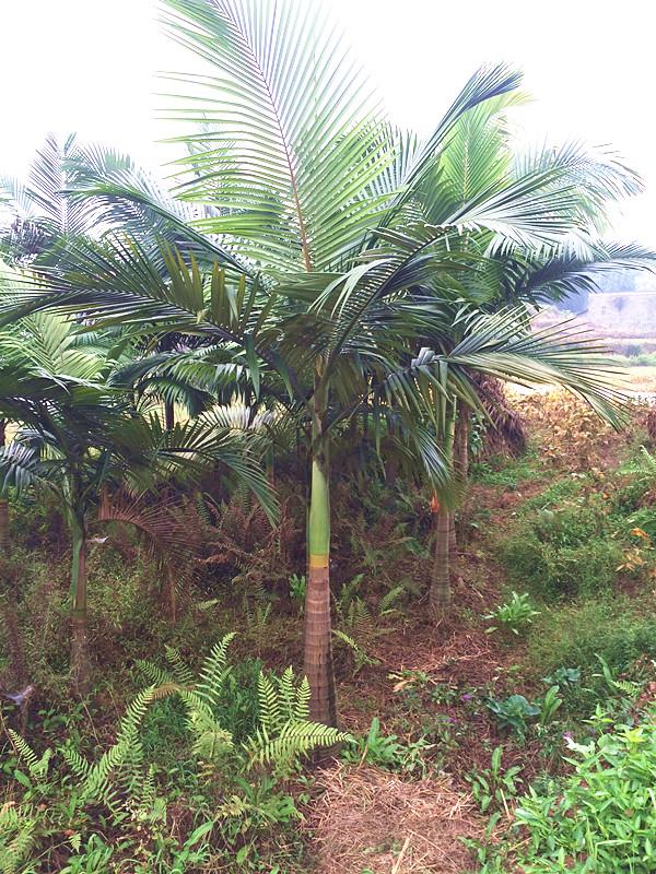 假槟榔伊人无码亚洲在线2-3米