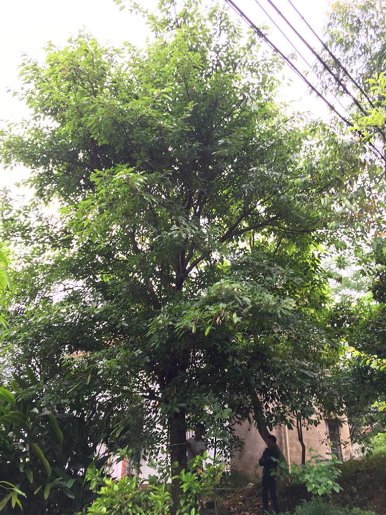 30cm黄葛树(大叶榕)