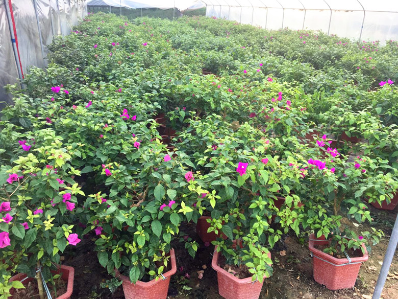 60cm笼紫色三角梅