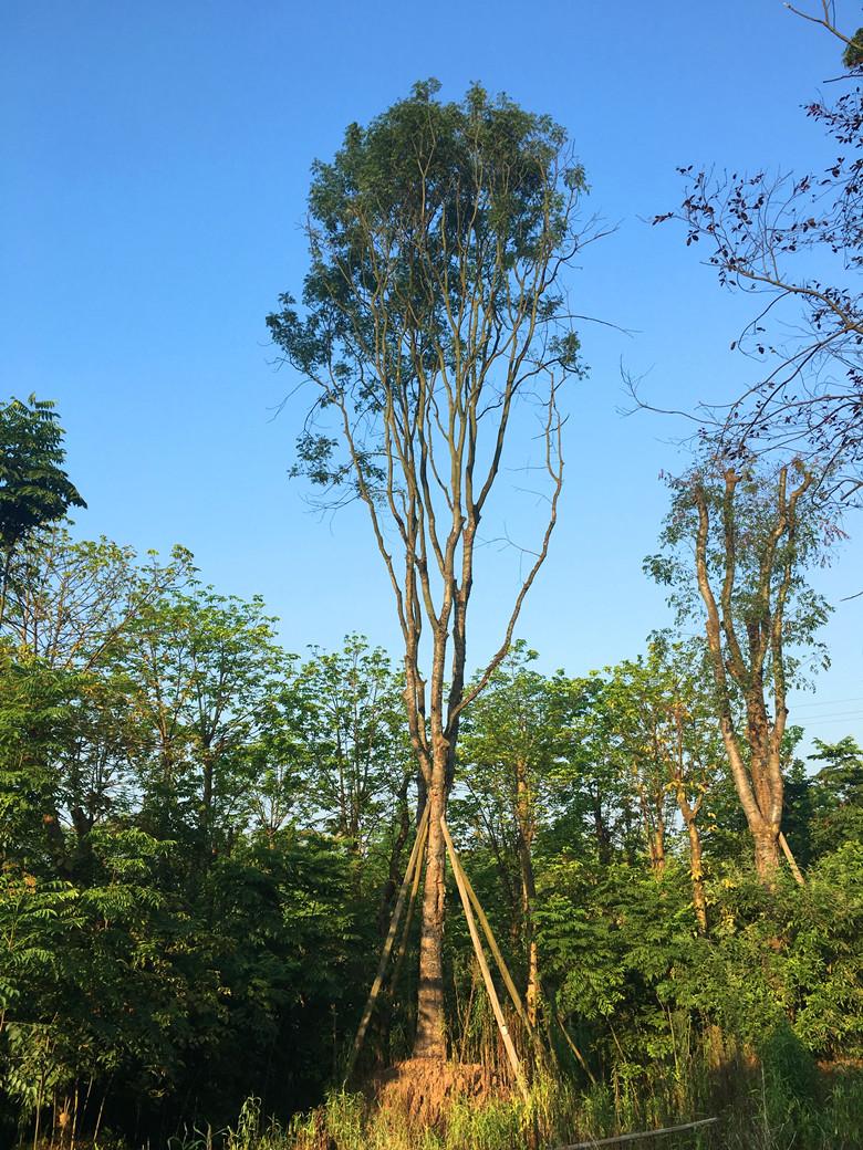 30cm黄连木