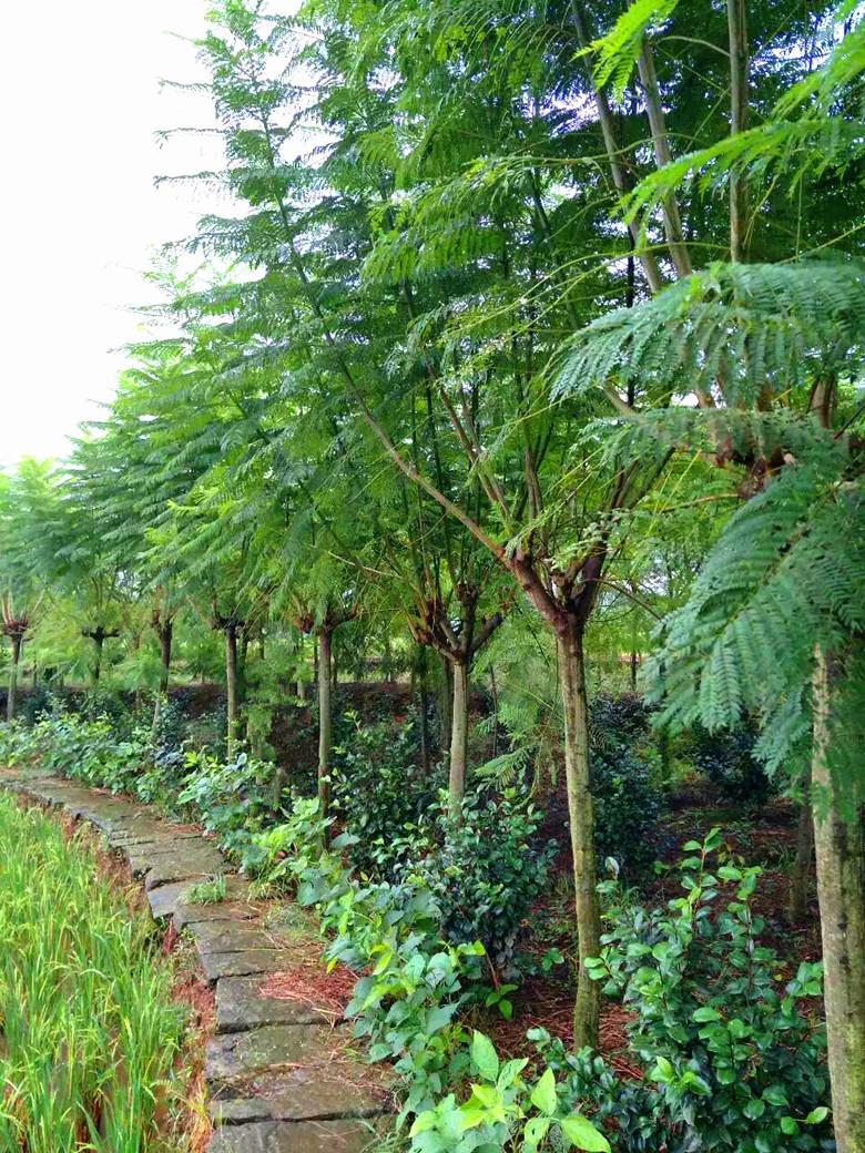 蓝花楹米径10-12cm