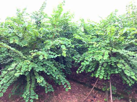 香港紫荆10-20cm