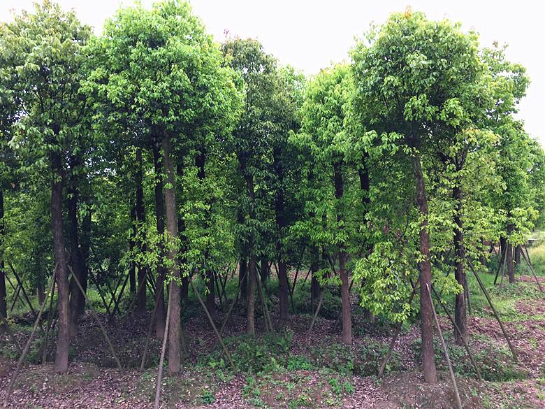 15-30熟货香樟