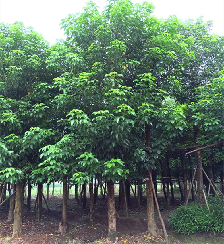 四川20cm三叶树