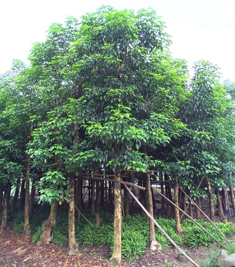 西南30-40三叶树|秋枫