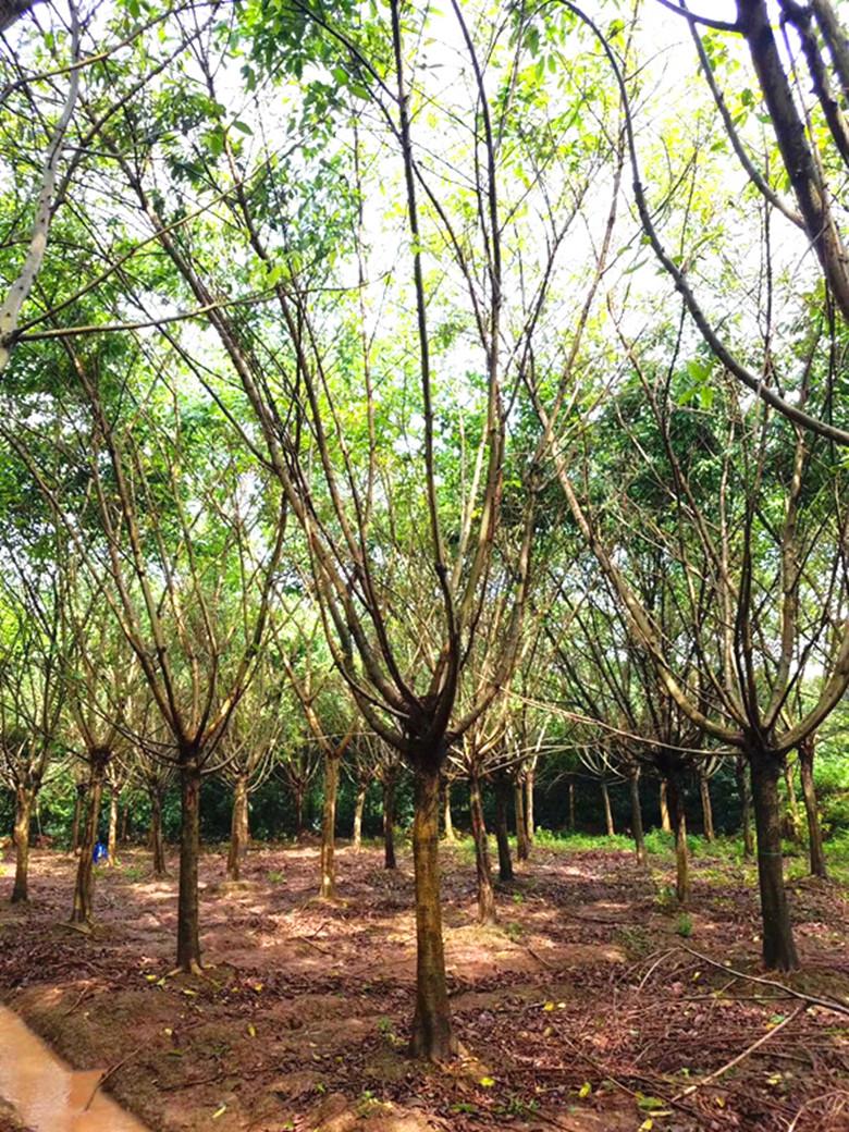黄角树|大叶榕|黄桷树|黄葛树